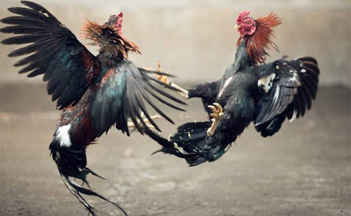 Astaga, Diduga Judi Sabung Ayam di Manado Sebar Undangan Lewat Medsos –  WartaBolmong.news